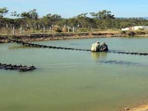 Farmers work on oyster purse cages in the mating pond