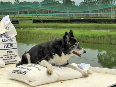 Queensland Farm Dog